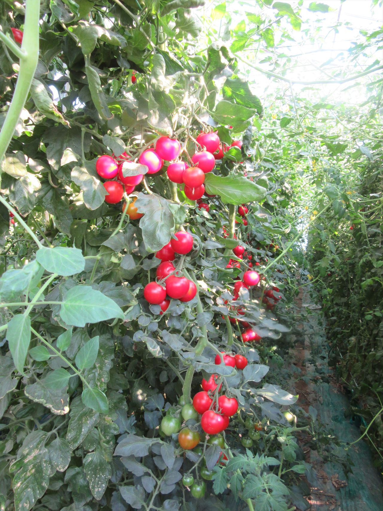 ミニトマトはアイコという種類